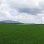 Všude zelená. Rýžová pole