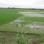 Dvě paní se hrabou v rýži uprostřed pole, kde je vichřice