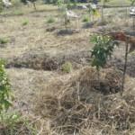 """Farma 2014, malé mango a tamarind se slámou, která drží vlhkost a """"slunečníkem"""" :)"""