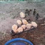 Kuřátka a kachničky, jednou z nich bude vývar :)