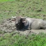 Vodní buvol v rauši