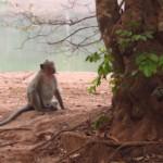 Opice u Angkor Watu